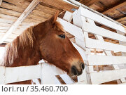 Portrait of a horse of the solovoi suit in profile in a stable. Стоковое фото, фотограф Наталья Волкова / Фотобанк Лори