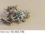 Cetraria icelandic moss close-up, medicinal plant, herbal alternative therapy homeopathy, immunity potion recipe, anti-inflammatory cough and pneumonia remedy. Стоковое фото, фотограф Светлана Евграфова / Фотобанк Лори