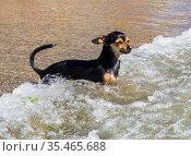 Собака стоит в приливной волне. Стоковое фото, фотограф Вячеслав Палес / Фотобанк Лори