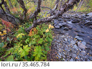 River stream or jokk, Abisko National Park, Norrbotten, Lapland, Sweden September 2020. Стоковое фото, фотограф Staffan Widstrand / Nature Picture Library / Фотобанк Лори