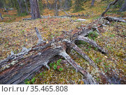 Tree trunk slowly decomposing, possibly over several hundred years. Old-growth pine forest, Muddus National Park, Laponia UNESCO World Heritage Site, Norrbotten, Lapland, Sweden September 2020. Стоковое фото, фотограф Staffan Widstrand / Nature Picture Library / Фотобанк Лори