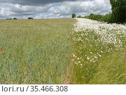 Oxeye daisy (Leucanthemum vulgare) flowering in field margin of ripening mixed crop of Barley (Hordeum vulgare) and Wheat (Triticum aestivum). Wiltshire, England, UK. June 2020. Стоковое фото, фотограф Nick Upton / Nature Picture Library / Фотобанк Лори