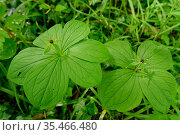 Herb Paris (Paris quadrifolia), two plants, one with whorl of six leaves, the other with more typical whorl of four leaves. Wiltshire, England, UK. May. Стоковое фото, фотограф Nick Upton / Nature Picture Library / Фотобанк Лори