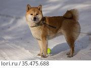 Shiba Inu stands on a winter road, next to a yellow ball. Стоковое фото, фотограф Михаил Панфилов / Фотобанк Лори