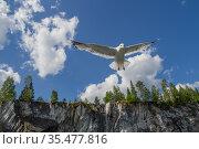 Seagull in flight. Стоковое фото, фотограф Илья Галахов / Фотобанк Лори