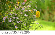 Lilac Astra virginiana and yellow rudbeckia blooms on a flower bed in the garden. Стоковое видео, видеограф Володина Ольга / Фотобанк Лори