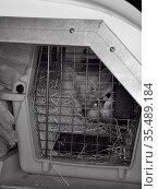 Pine Marten (Martes martes) in a cage in an animal transport van at... Стоковое фото, фотограф Nick Upton / Nature Picture Library / Фотобанк Лори