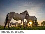 Konik horses (Equus ferus caballus) interacting at sunset, floodplain... Стоковое фото, фотограф Edwin Giesbers / Nature Picture Library / Фотобанк Лори