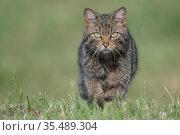 Wildcat (Felis silvestris) Vosges, France, June. Стоковое фото, фотограф Fabrice Cahez / Nature Picture Library / Фотобанк Лори