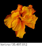 Beautiful double Hibiscus rosa-sinensis aka Chinese hibiscus with unusual gradient of color on petals isolated on black background. Стоковое фото, фотограф Tamara Kulikova / Фотобанк Лори
