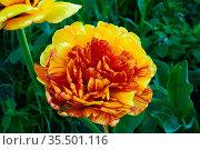 Decorative flower peony-shaped tulip. Стоковое фото, фотограф Владимир Ушаров / Фотобанк Лори