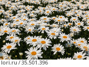 A field of large flowering daisies on a sunny summer day. Стоковое фото, фотограф Наталья Волкова / Фотобанк Лори