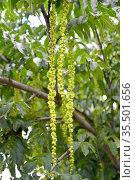Лапина ясенелистная  (Pterocarya fraxinifolia). Незрелые соплодия. Стоковое фото, фотограф Ирина Борсученко / Фотобанк Лори