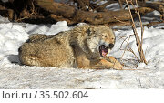 One-eared Eurasian wolf (Canis lupus lupus) lies in snow and gnaws twig on sunny day in early spring. Стоковое фото, фотограф Валерия Попова / Фотобанк Лори