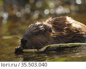 North American beaver (Castor canadensis), feeding on tree bark, Maryland, USA. October. Стоковое фото, фотограф John Cancalosi / Nature Picture Library / Фотобанк Лори