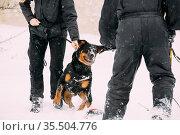 Training Of Purebred Black Rottweiler Metzgerhund Adult Dog. Attack... Стоковое фото, фотограф Ryhor Bruyeu / easy Fotostock / Фотобанк Лори