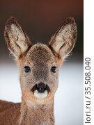 Portrait of roe deer, capreolus capreolus, in winter. Close-up of... Стоковое фото, фотограф Zoonar.com/Jakub Mrocek / easy Fotostock / Фотобанк Лори