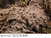 Ant plant (Myrmecodia tuberosa) myrmecophyte, a plant which lives with symbiotic ants (Iridomyrmex / Philidris cordatus). Bako National Park, Sarawak, Borneo. Стоковое фото, фотограф Emanuele Biggi / Nature Picture Library / Фотобанк Лори