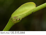 Leea indica, a myrmecophile plant with an ant (Crematogaster sp.) on its pearl bodies, a growth which provides food fo the ants who protect the plant. Bako National Park, Sarawak, Borneo. Стоковое фото, фотограф Emanuele Biggi / Nature Picture Library / Фотобанк Лори