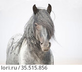 Wild horse stallion, a blue pinto roan, portrait. Red Desert Complex, Wyoming, USA. Стоковое фото, фотограф Carol Walker / Nature Picture Library / Фотобанк Лори