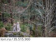 Eurasian lynx (Lynx lynx) pair sitting, captive, Bayerischer Wald / Bavarian Forest National Park, Germany. Стоковое фото, фотограф Franco Banfi / Nature Picture Library / Фотобанк Лори