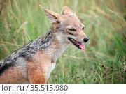 Black-backed jackal. Стоковое фото, фотограф Art Konovalov / Фотобанк Лори