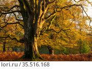 Beech (Fagus sylvatica), large tree amongst Bracken (Pteridium aquilinum). Bolderwood, New Forest National Park, Hampshire, England, UK. October 2020. Стоковое фото, фотограф Ross Hoddinott / Nature Picture Library / Фотобанк Лори