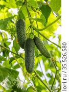 young Cucumber in the garden. Стоковое фото, фотограф Ольга Сейфутдинова / Фотобанк Лори
