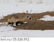 Black-footed ferret (Mustela nigripes) peering down entrance to Prairie dog (Cynomys sp) burrow before entering, hunting for prey. A reintroduction programme... Стоковое фото, фотограф Charlie Summers / Nature Picture Library / Фотобанк Лори