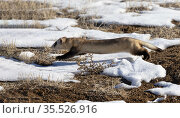 Black-footed ferret (Mustela nigripes) running through snow on prairie, hunting for prey in Prairie dog (Cynomys sp) burrows. Colorado, USA. January. Стоковое фото, фотограф Charlie Summers / Nature Picture Library / Фотобанк Лори