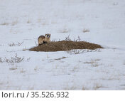 Black-footed ferret (Mustela nigripes) juvenile sitting on Prairie dog (Cynomys sp) burrow in snow. A reintroduction programme is underway with approximately... Стоковое фото, фотограф Charlie Summers / Nature Picture Library / Фотобанк Лори