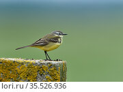 Western yellow wagtail (Motacilla flava) on lichen-covered piece of cut stone,  Vendeen Marsh, France, May. Стоковое фото, фотограф Loic Poidevin / Nature Picture Library / Фотобанк Лори