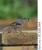 Black redstart (Phoenicurus ochruros) with grub prey, Vendeen Marsh, France, May. Стоковое фото, фотограф Loic Poidevin / Nature Picture Library / Фотобанк Лори