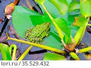 Frosch - a small frog in a pond on an aquatic plant. Стоковое фото, фотограф Zoonar.com/LIANEM / easy Fotostock / Фотобанк Лори