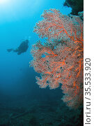 Diver and Sea Fan (Melithaea sp) with sun in background, Liberty ... Стоковое фото, фотограф Colin Marshall / age Fotostock / Фотобанк Лори