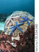 Trio of Blue Star Starfish (Linckia laevigata) on Hard Corals (Scleractinia... Стоковое фото, фотограф Colin Marshall / age Fotostock / Фотобанк Лори
