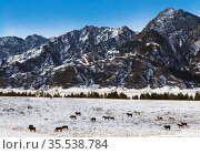 A herd of horses graze on a winter pasture in the Altai mountains. Стоковое фото, фотограф Наталья Волкова / Фотобанк Лори