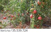 Ripe pomegranates on trees at fruit plantation on day. Стоковое видео, видеограф Яков Филимонов / Фотобанк Лори