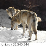 Two Eurasian wolves (Canis lupus lupus) on sunny day in early spring. Male and female. Стоковое фото, фотограф Валерия Попова / Фотобанк Лори