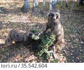 Чучела енотов на фоне леса (2019 год). Редакционное фото, фотограф Бабкина Марина / Фотобанк Лори