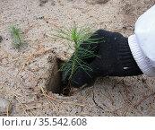 Высадка саженцев сосны обыкновенной в подготовленный грунт. Стоковое фото, фотограф Бабкина Марина / Фотобанк Лори