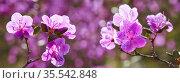 Closeup shot of Rhododendron dauricum flowers. Стоковое фото, фотограф Serg Zastavkin / Фотобанк Лори
