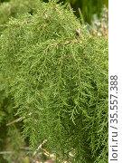 Cheshunt pine (Diselma archeri). Tasmania, Australia. January. Стоковое фото, фотограф Dave Watts / Nature Picture Library / Фотобанк Лори