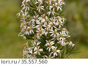 Prickly alpine daisybush (Olearia pinifolia). Tasmania, Australia. January. Стоковое фото, фотограф Dave Watts / Nature Picture Library / Фотобанк Лори