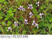 Ivyleaf violet (Viola hederacea). Tasmania, Australia. November. Стоковое фото, фотограф Dave Watts / Nature Picture Library / Фотобанк Лори