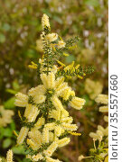Prickly moses (Acacia verticillata). Tasmania, Australia. October. Стоковое фото, фотограф Dave Watts / Nature Picture Library / Фотобанк Лори