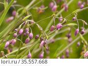 Small vanilla lily (Arthropodium minus). Tasmania, Australia. November. Стоковое фото, фотограф Dave Watts / Nature Picture Library / Фотобанк Лори