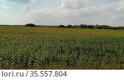Agricultural cultivation of sunflower in the field. Russia. Стоковое видео, видеограф Володина Ольга / Фотобанк Лори