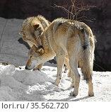 Two Eurasian wolves (Canis lupus lupus). Wolf tenderness, female bites neck of male. Стоковое фото, фотограф Валерия Попова / Фотобанк Лори