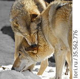 Two Eurasian wolves (Canis lupus lupus). Submission, female holds male by neck. Стоковое фото, фотограф Валерия Попова / Фотобанк Лори